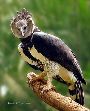 AVES DEL MUNDO... - Página 23 Harpy-eagle-panama